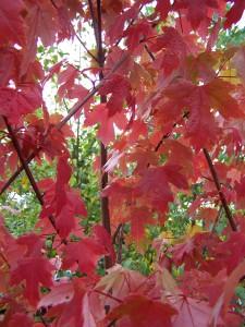 Acer x freemanii Autumn Blaze