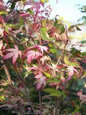 Acer palmatum Oridono nishik