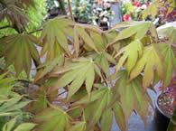 Acer palmatum Osakazuki