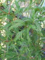 Acer palmatum Palmatifidum
