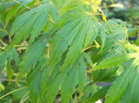 /Acer palmaum Omurayama