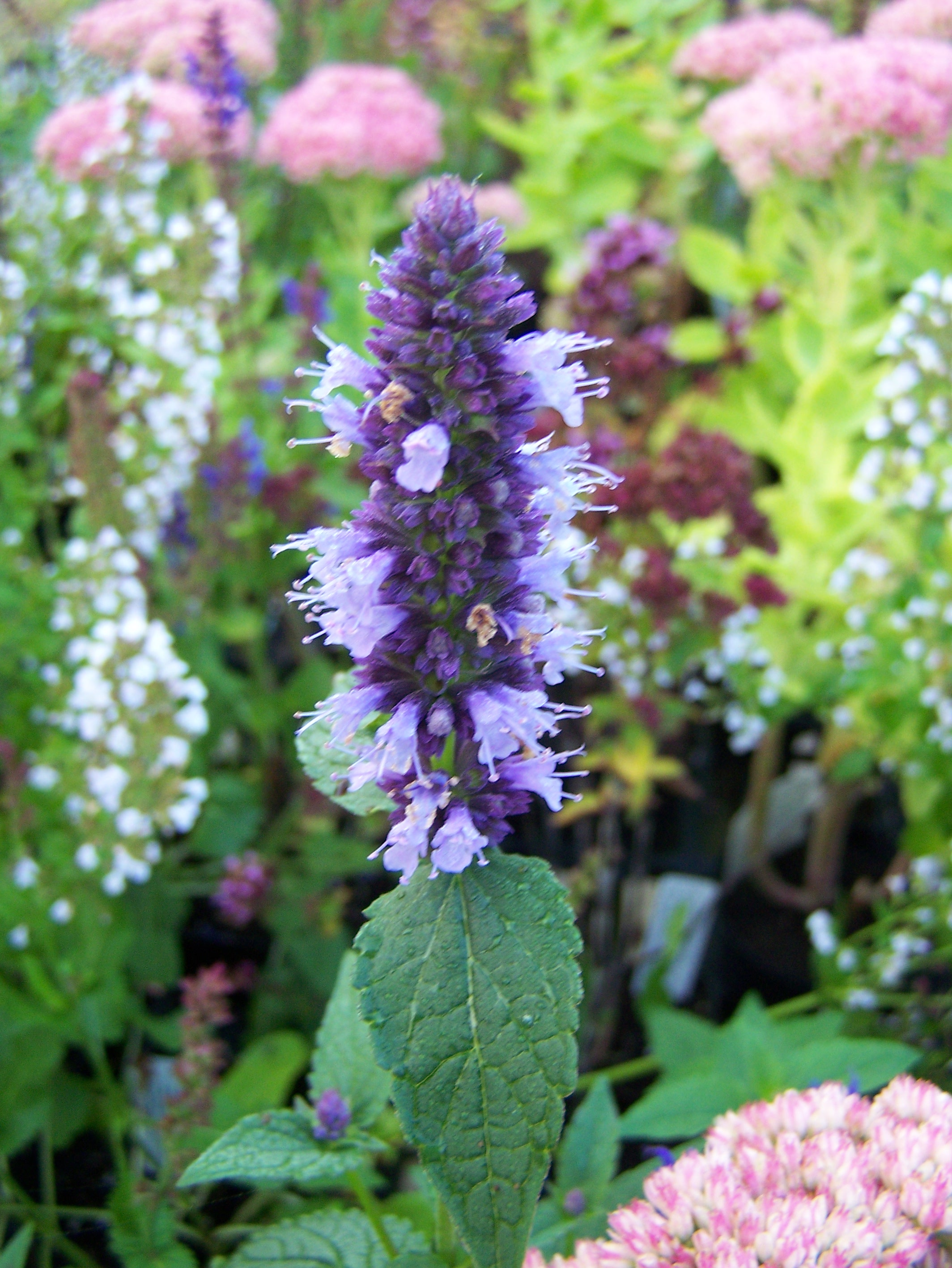 buy agastache plants in variety by mail order. Black Bedroom Furniture Sets. Home Design Ideas