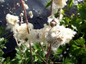 Anemone multifida seed heads