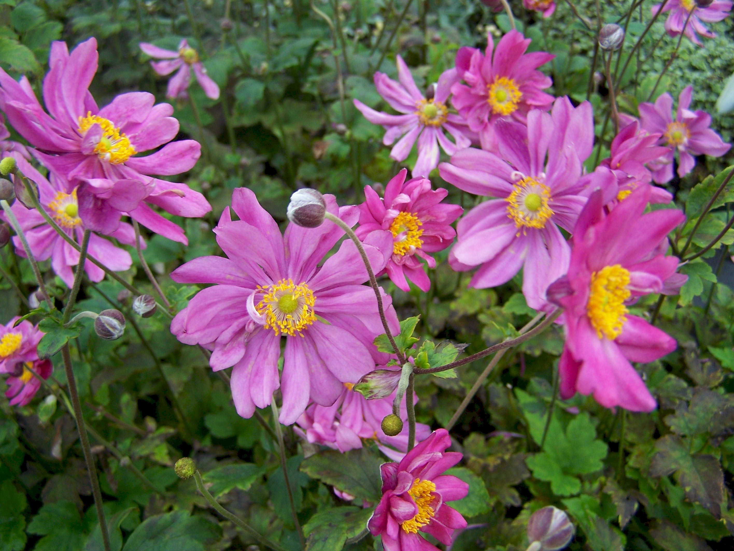 buy anemone plants in variety by mail order