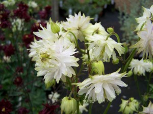 Aquilegia vulgaris White Barlow
