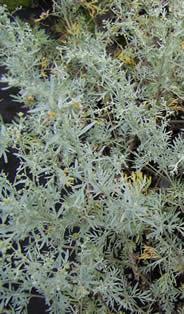 Artemisia absinthimum Lambrook Silver