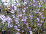 Aster Little Carlow