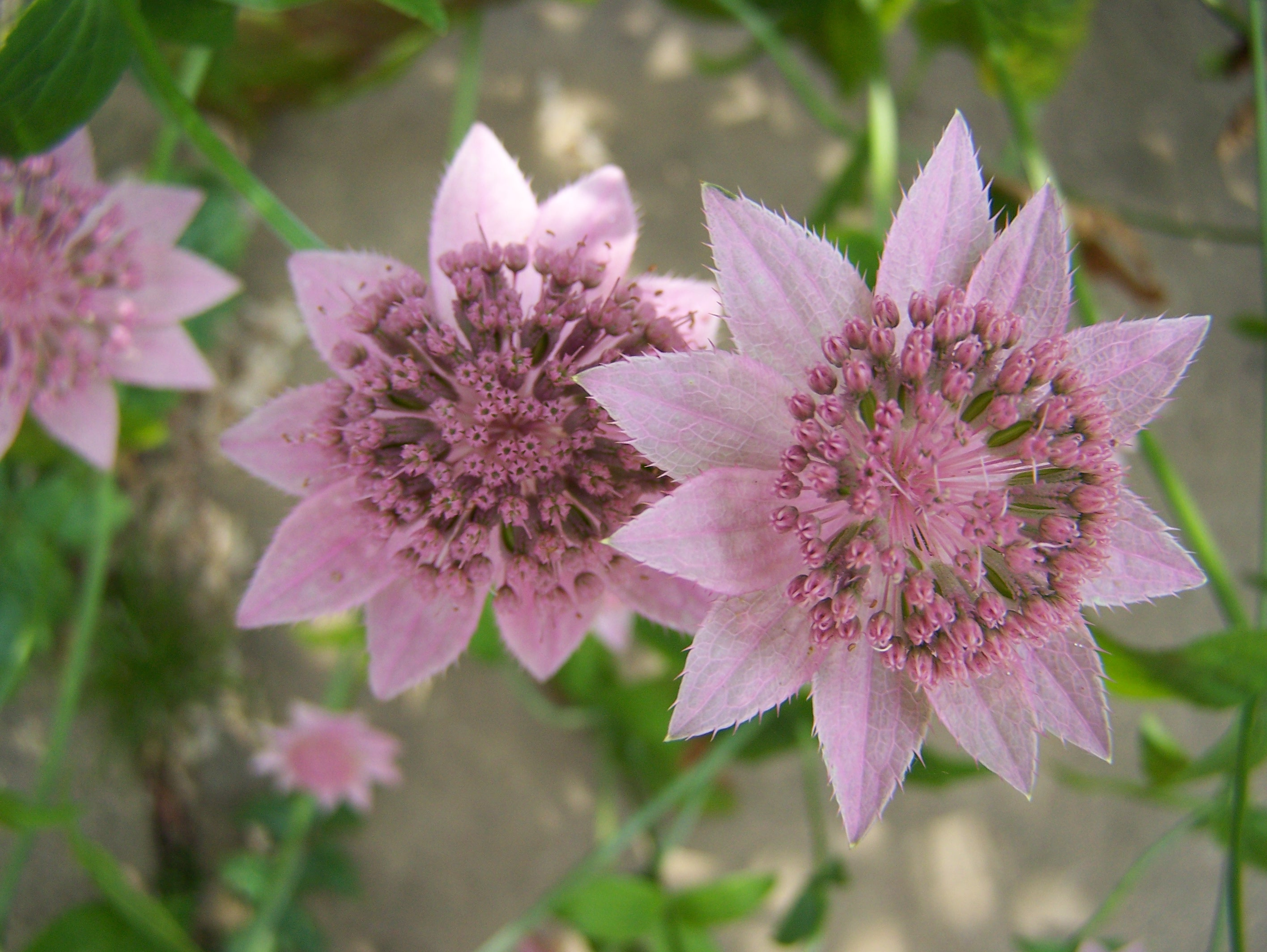 Buy Astrantia In Variety By Mail Order