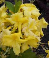 Azaleas & Rhododendrons