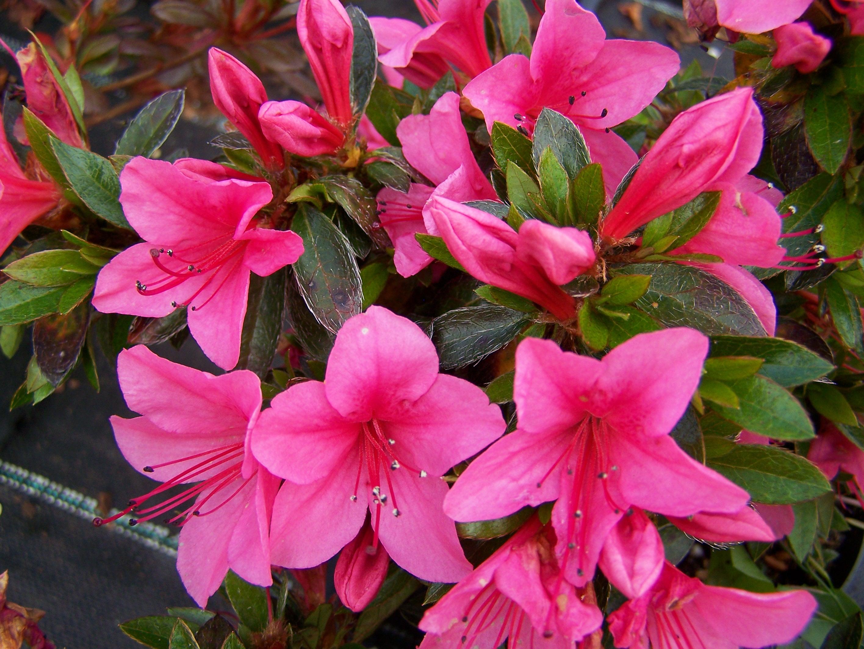 azalea perryhill nurseries