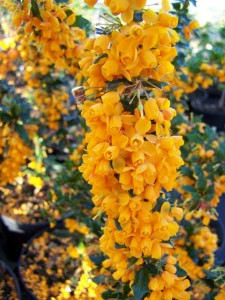 Berberis Apricot Queen