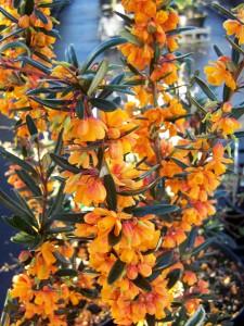 Berberis Orange King