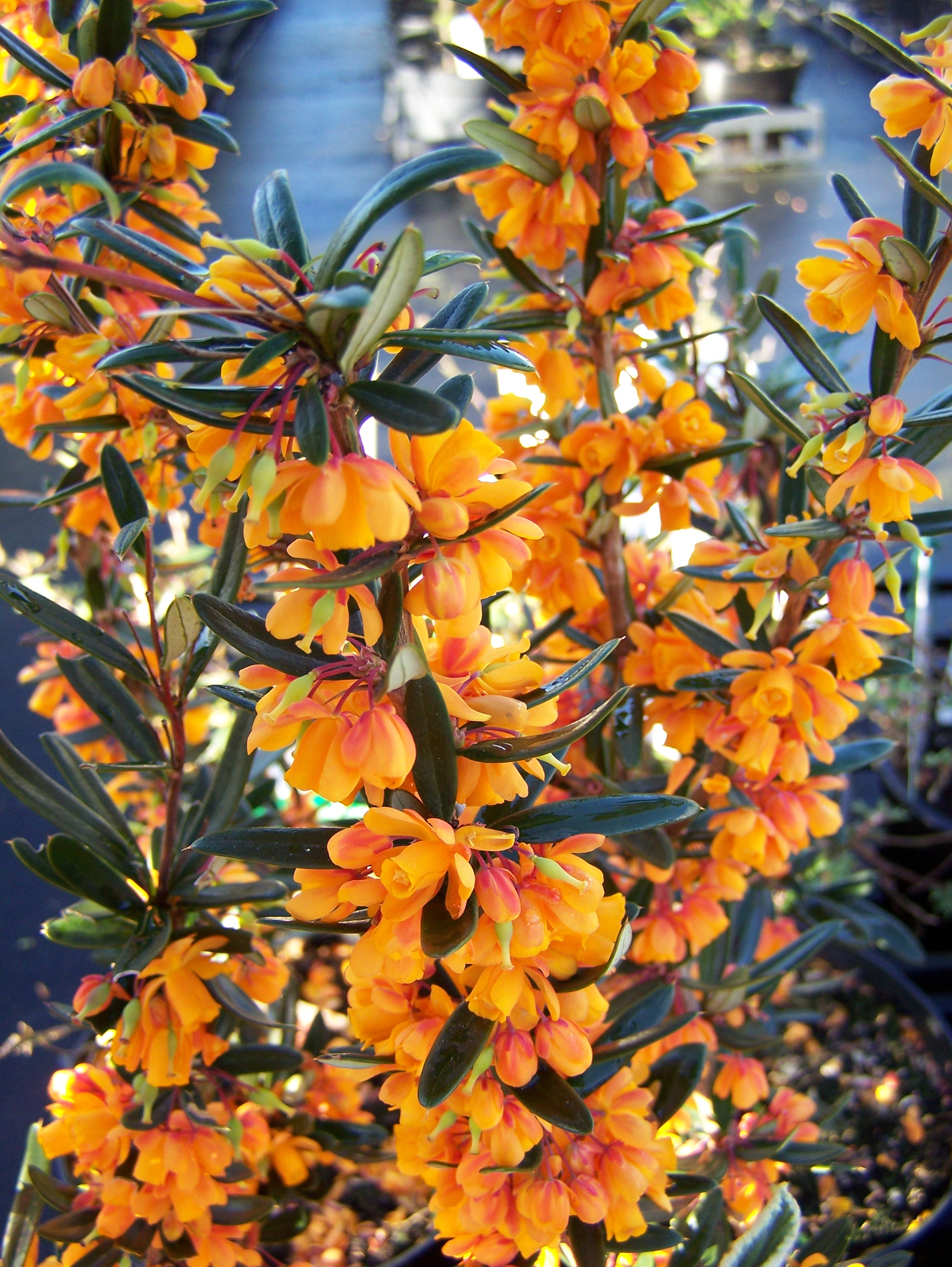 Berberis stenophylla berberis orange king mightylinksfo