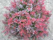 Berberis thunbergii Atropurpurea Nana