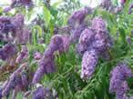 Buddleja davidii Dartmoor