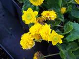 Caltha palustris Flore Pleno