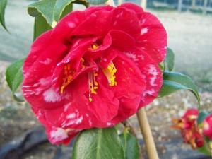 Camellia Apollo