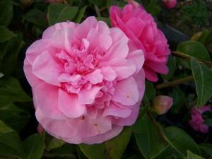 Camellia Debbbie