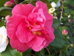 Camellia Guillio Nuccio