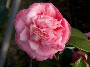 Camellia Martgaret Davis Picotee