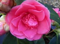Camellia Elegans