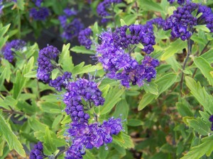 Caryopteris x clandoinensis First Choice