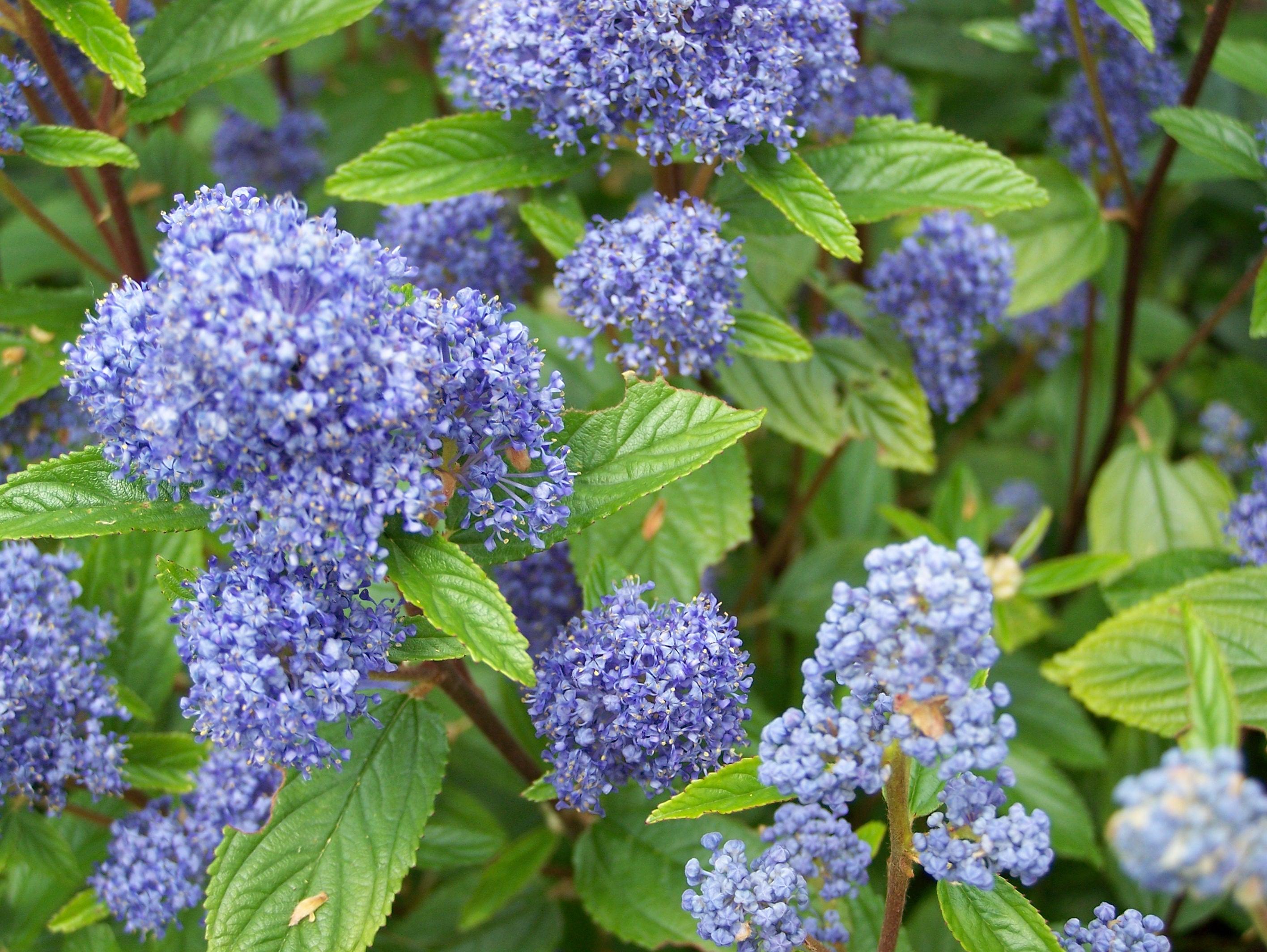 Ceanothus perryhill nurseries for Catalogue de plantes