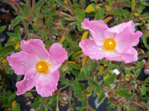 Cistus argenteus Siilver Pink