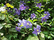 Clematis Perl d Azur