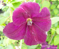 Clematis Royal Velour