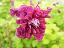 Clematis viticella purpurea Elegans Plena