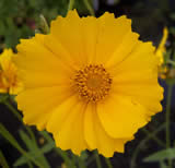 Coreopsis Mayfield Giant