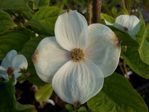 Cornus Eddies White Wonder