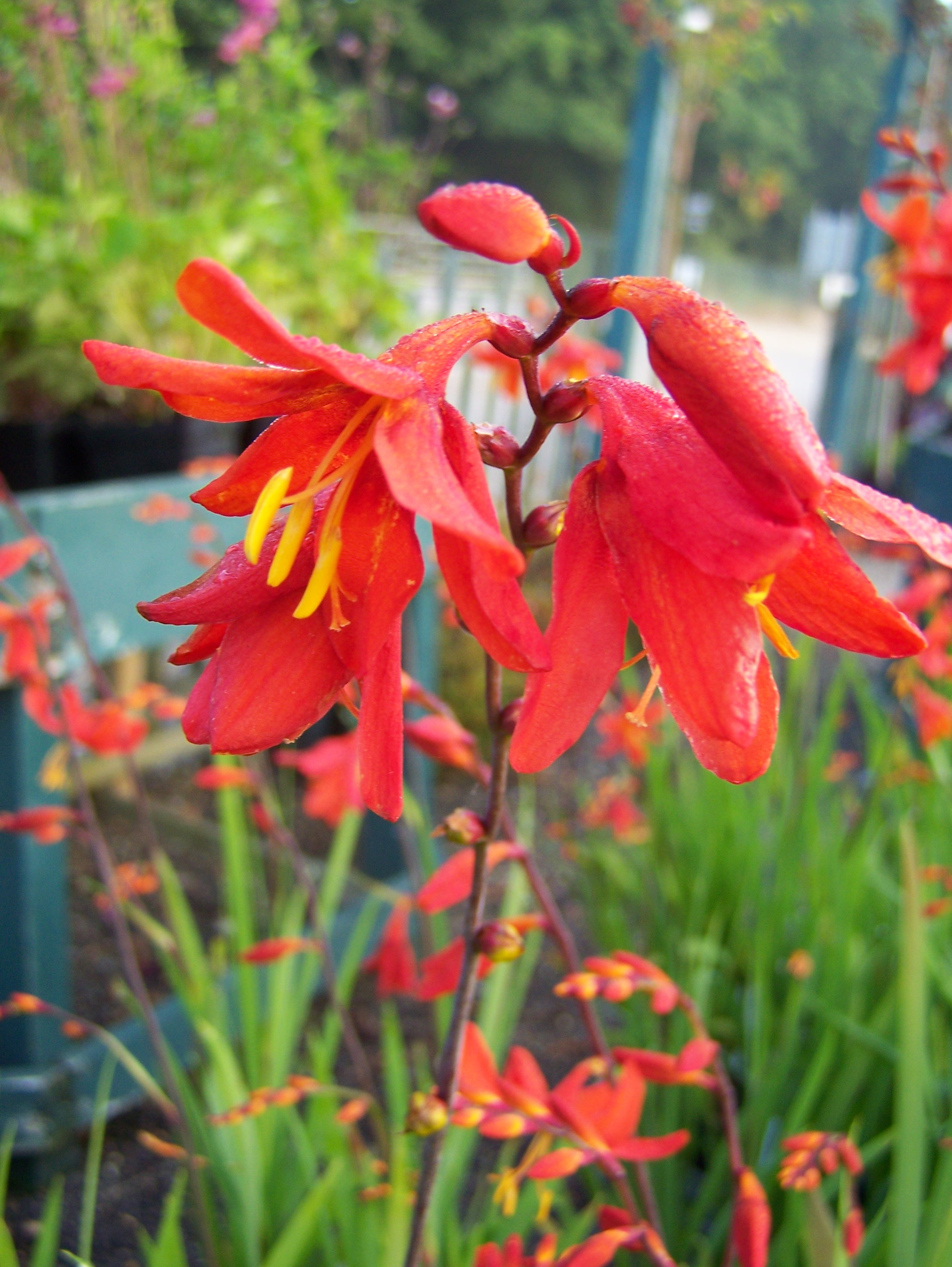 Buy Crocosmia plants in variety by mail order
