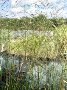 Deschampsia caespitosa Goldtau