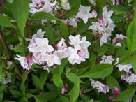 Deutzia x kalmiflora