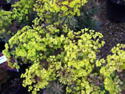 Euphorbia Redwing