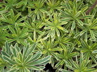 Euphorbia characias ssp. characias Burrow Silver