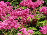 Filipendula purpurea Elegans