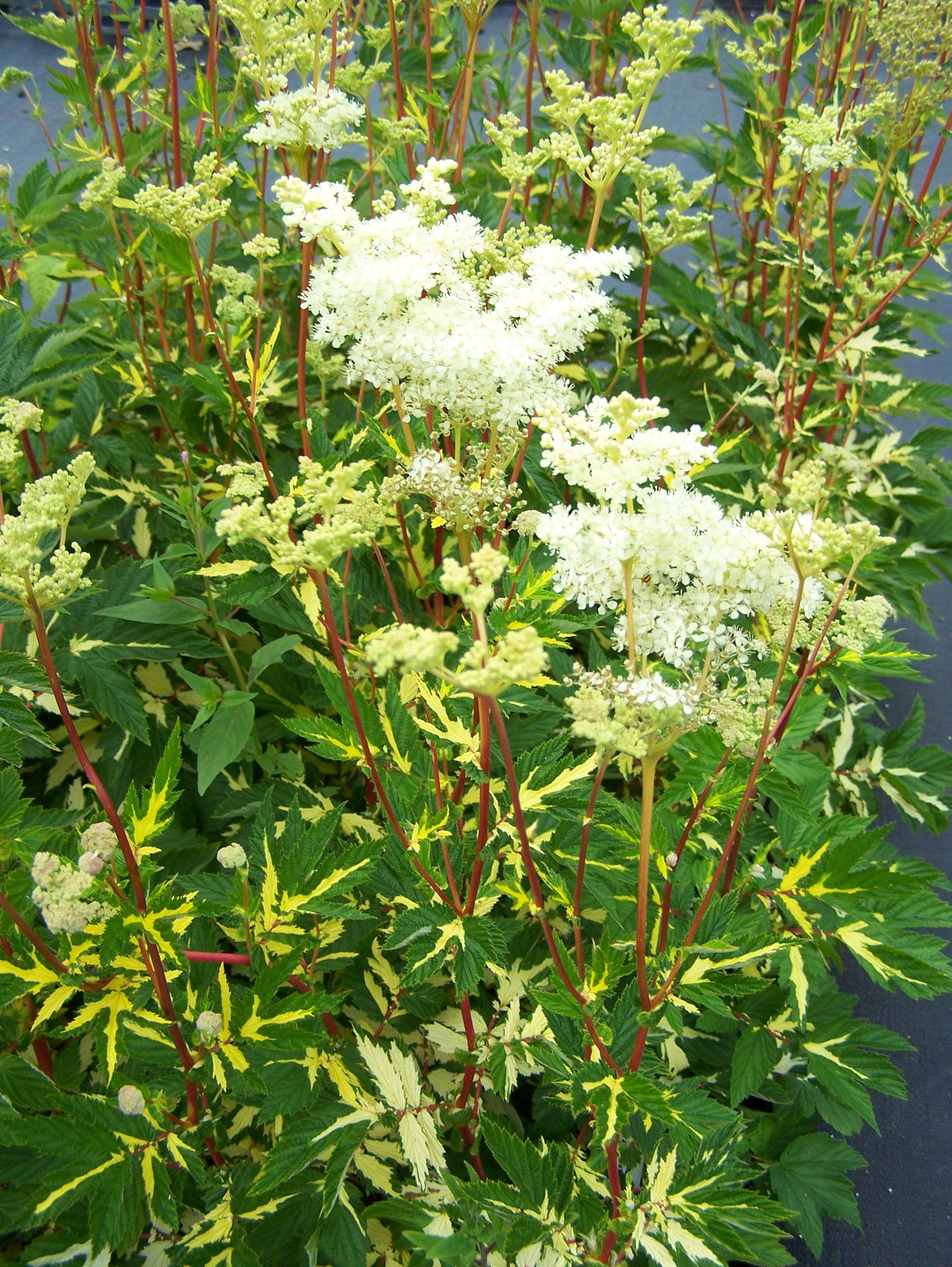filipendula ulmaria variegata creamy white clusters of flowers