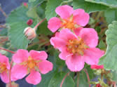 Fragaria Red Ruby
