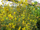 Genista tinctoria Royal Gold