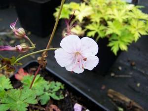 Geranium cantabrigense Biokovo