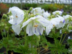 Geranium pratense Striatum