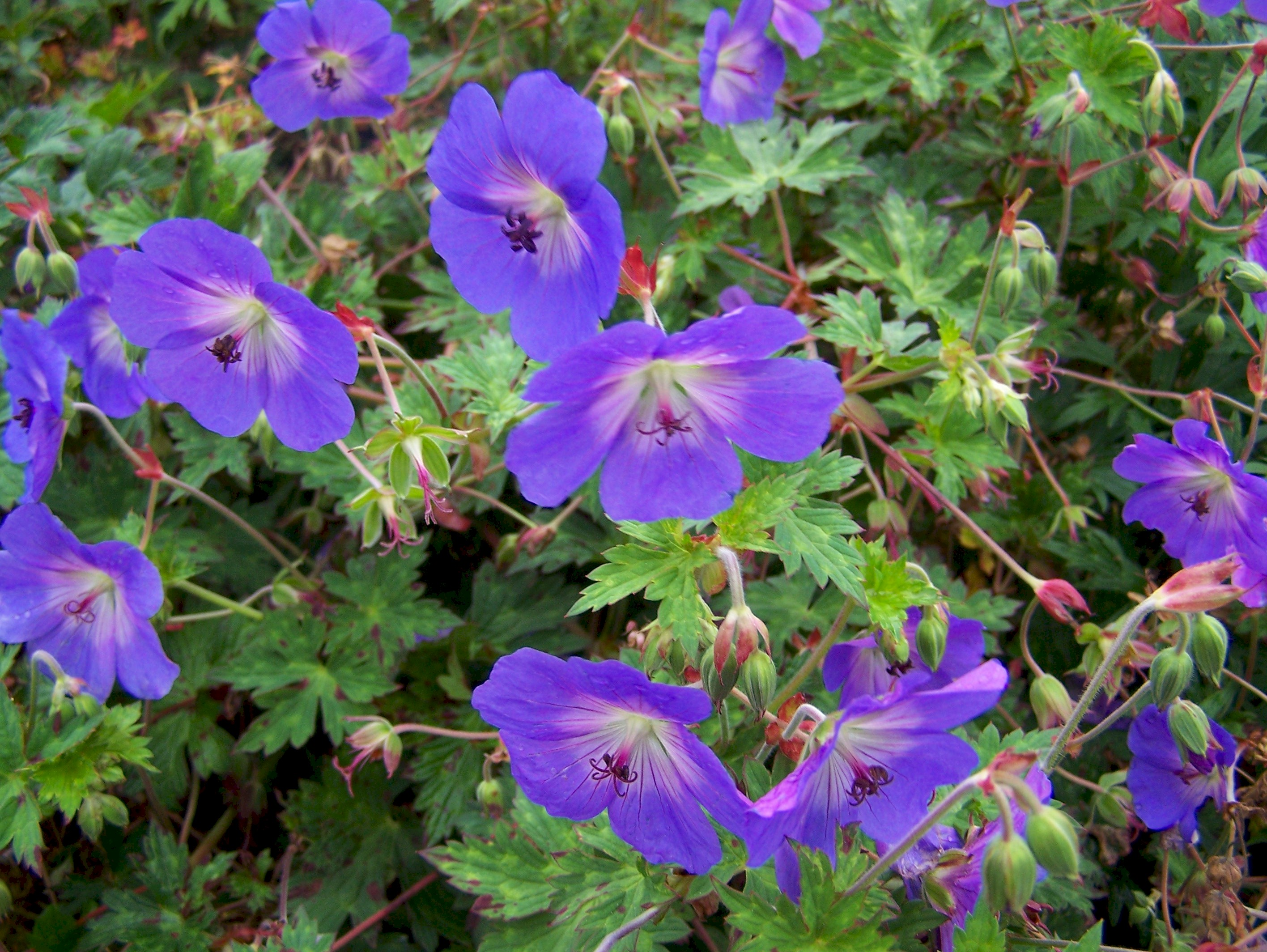 Buy hardy geraniums by mail order geranium rozanne mightylinksfo