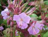 Geranium macrorrhizum Ingwersens Variety
