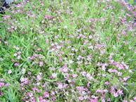 Gypsophila Rosa Schonheit