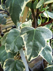 Hedra canariensis Gloire de marengo