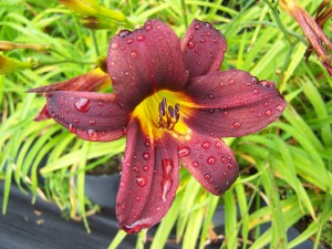 Hemerocallis Black Magic