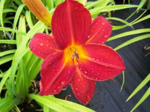 Hemerocallis Buzz Boimb